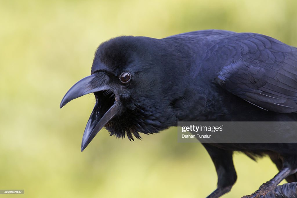 Jungle crow close up