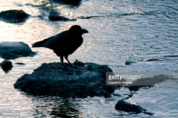 Jungle Crow (Corvus macrorhynchos) Perching on the Rock in the River