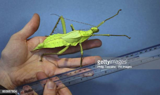 A jungle nymph stick insect get measured at the annual London Zoo weighin where animals are weighed and measured