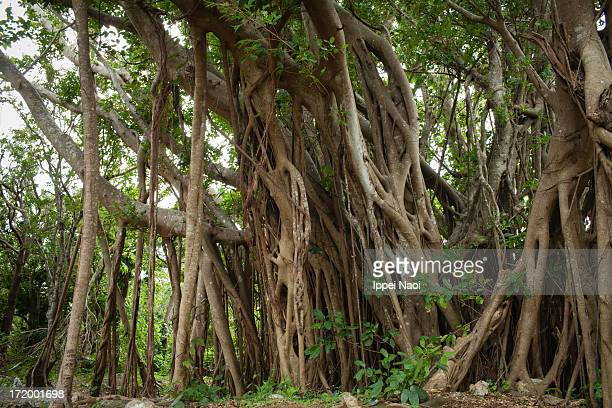 Jungle of banyan fig trees,