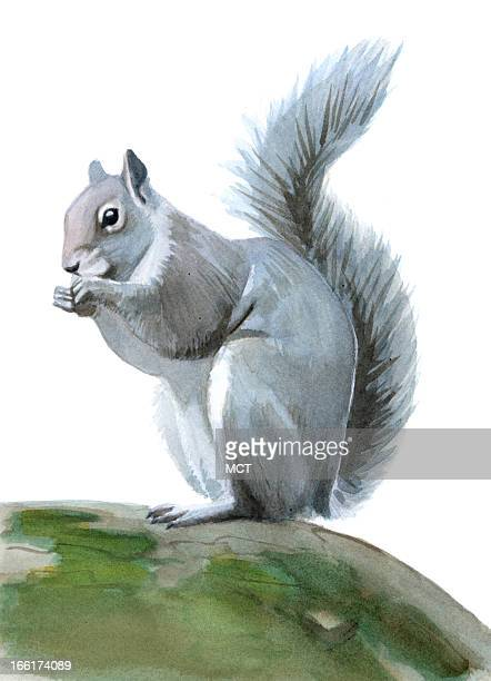 Junie BroJorgensen color illustration of a grey squirrel