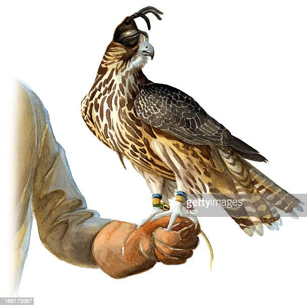 Junie BroJorgensen color illustration of a peregrine falcon