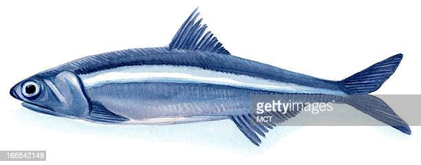 Junie BroJorgensen color illustration of an Anchovy