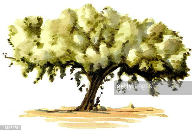 Junie BroJorgensen color illustration of an argan tree