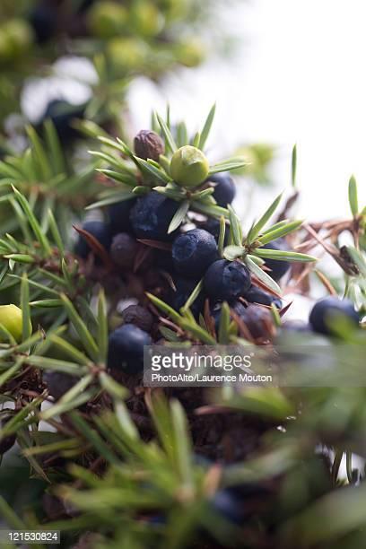 Juniper berries growing on branch
