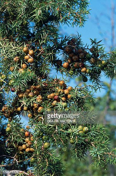 Juniper Berries Krka National Park Dalmatia Croatia
