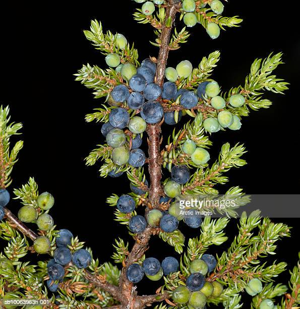 Juniper berries (Juniperus communi) on bush, close-up