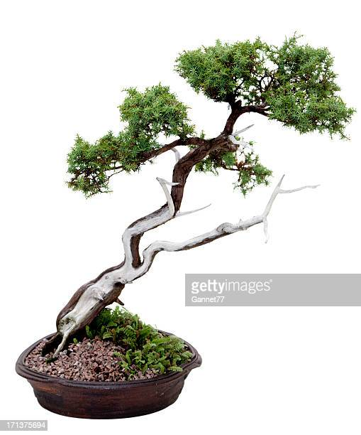 Juniper bonsaï sur blanc