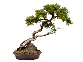 A Juniper Bonsai tree, isolated on white