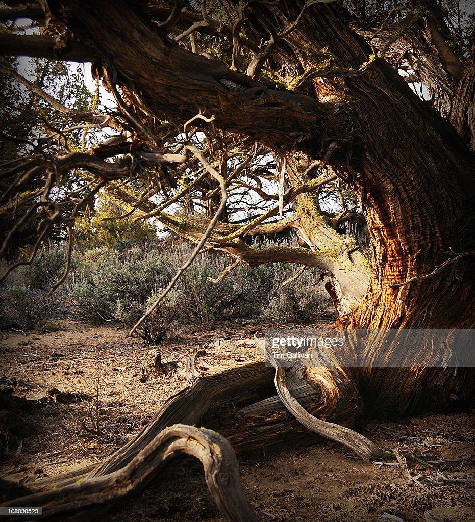 Juniper tree : Stock Photo