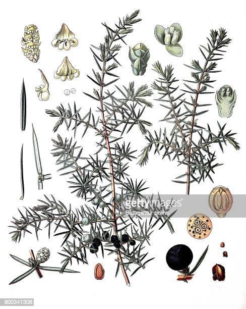 Juniperus communis the common juniper is a species of conifer in the genus Juniperus Medicinal plant