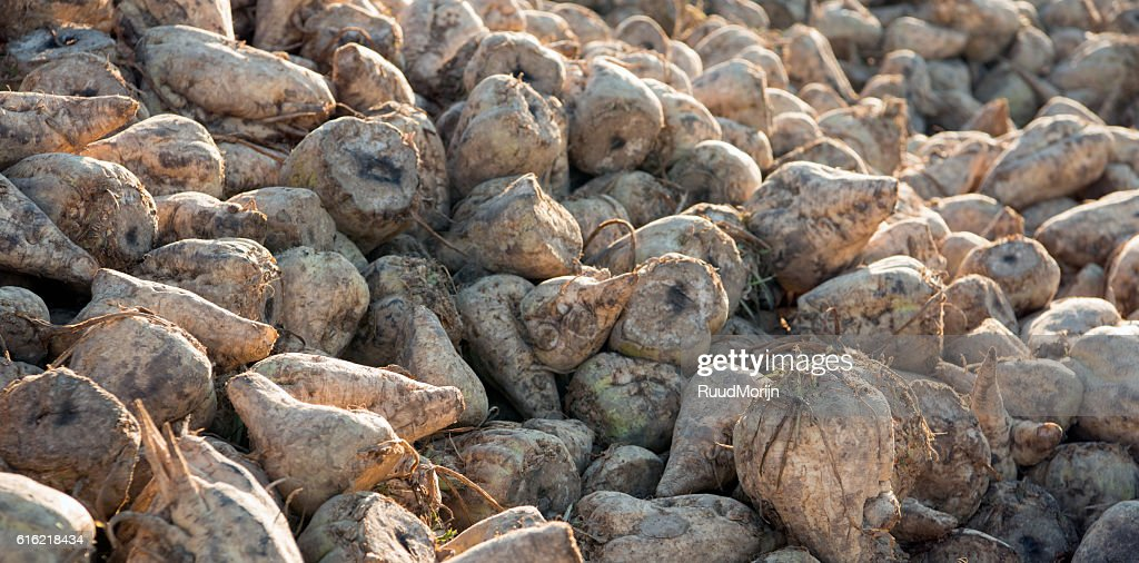 Just harvested sugar beets on a heap in the Netherlands : Photo
