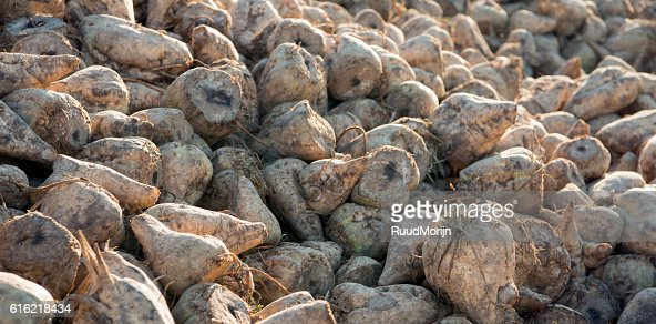 Just harvested sugar beets on a heap in the Netherlands : Stock Photo