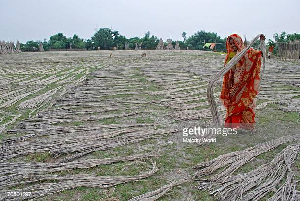 Jute processing continues A woman laying jute fibers on a field for sun drying This years extraction of the fiber was difficult because of delayed...