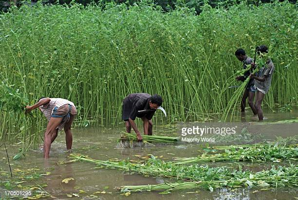 Jute processing continues Farmers harvesting jute from a field This years extraction of the fiber was difficult because of delayed rain The price of...