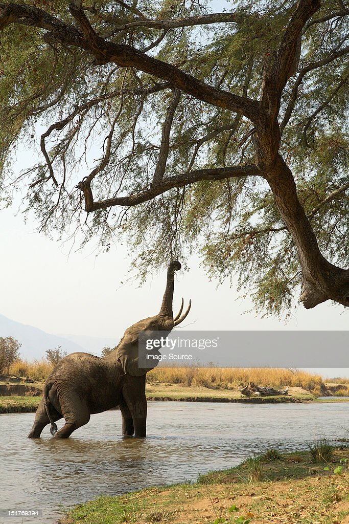 Juvenile African Elephant reaching up to tree whilst in Zambezi river, Mana Pools, Zimbabwe