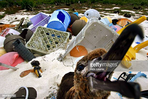 A juvenile albatross sits amid piles of discarded trash that floated ashore including bottles fishing floats and even televisons in otherwise...