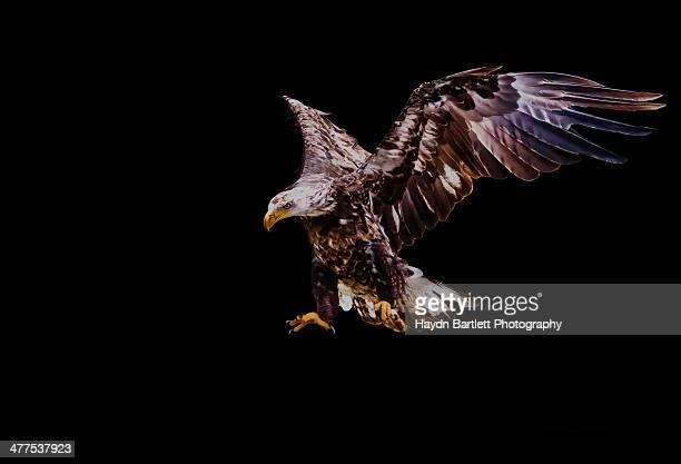 Juvenile American Bald Eagle In-Flight