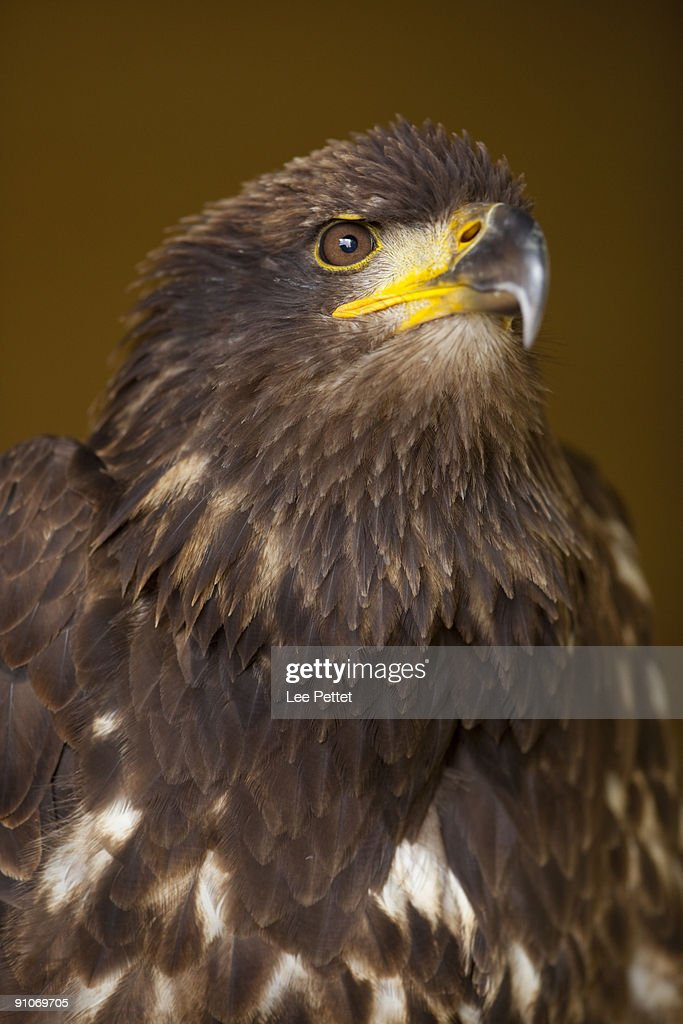 Juvenile Bald Eagle : Stock Photo