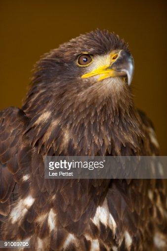 Juvenile Bald Eagle : Stock Photo
