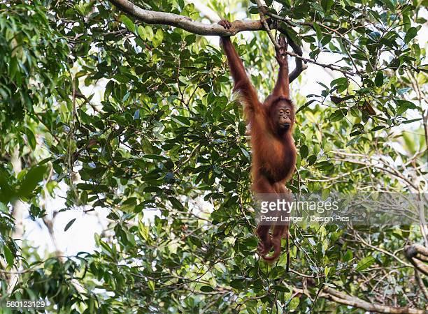 Juvenile Bornean orangutan (Pongo pygmaeus) at Tangung Harapan, Tanjung Puting National Park, Central Kalimantan, Borneo, Indonesia