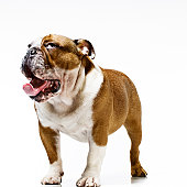 Juvenile British Bulldog