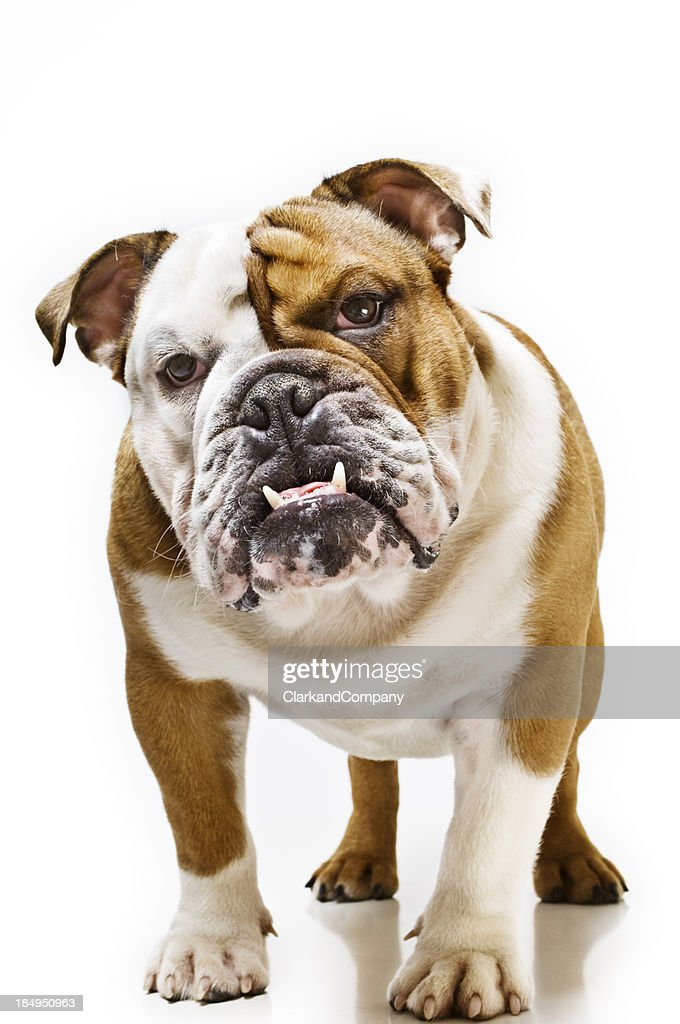 Juvenile British Bulldog