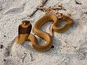 Juvenile Cape Cobra (Naja nivea) from Cape Town, South Africa.