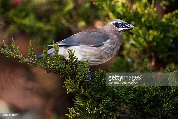 Juvenile cedar waxwing with juniper berry