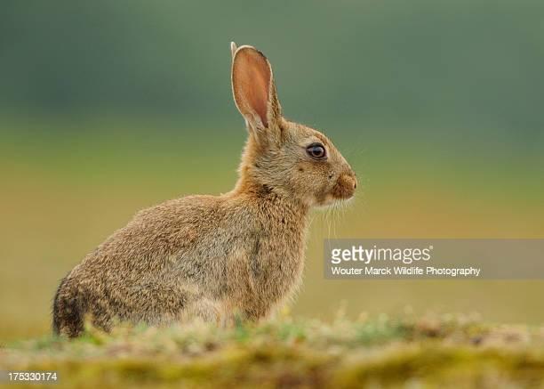 Juvenile European wild rabbit