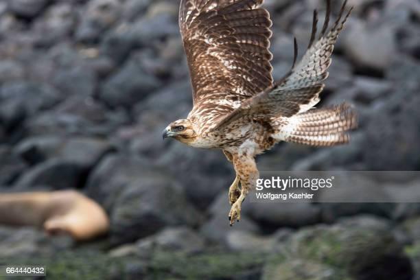 A juvenile Galapagos hawk inflight after taking off from a rock of Santa Fe Island in the Galapagos National Park Galapagos Islands Ecuador