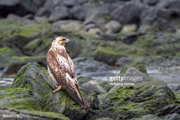 A juvenile Galapagos hawk on the rocks of Santa Fe Island in the Galapagos National Park Galapagos Islands Ecuador