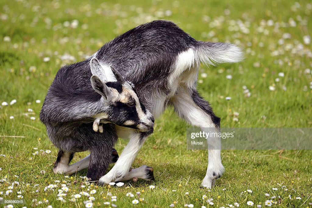 Juvenile goat on grass : Stock Photo