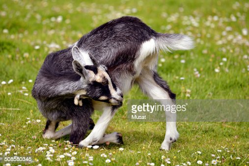 Juvenile goat on grass : Stockfoto