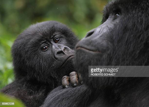 A juvenile gorilla leans on the shoulder of an adult male that will one day become a Silver back in a clearing on the slopes of Mount Mikeno in the...