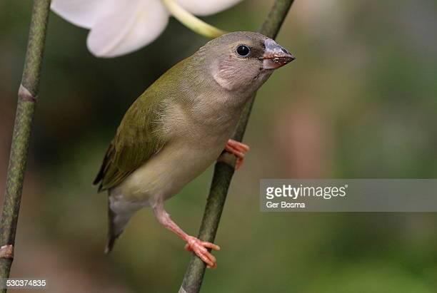 Juvenile Gouldian Finch