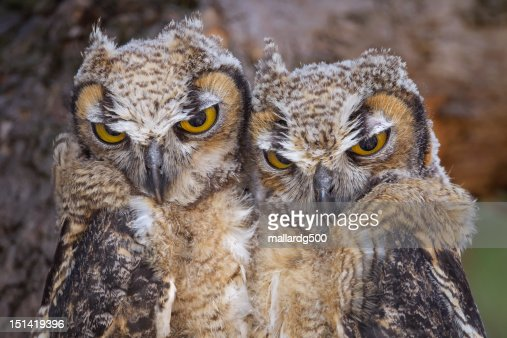 Juvenile great-horned owl : Stock Photo