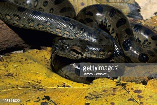 Juvenile Green Anaconda, Eunectes murinus, northern South America : Stock Photo