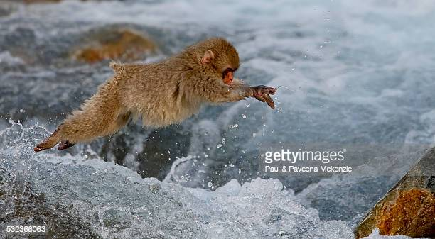 Juvenile Japanese Macaque jumping across river