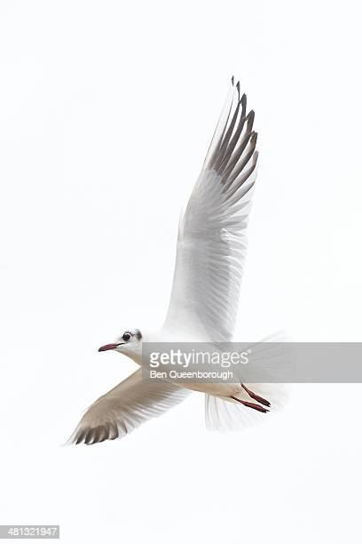 A juvenile Kittiwake gull flying