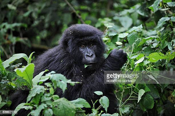 A juvenile mountain gorilla looks on while feeding on leaves on the slopes of Mount Mikeno in the Virunga National Park on November 28 2008 The park...