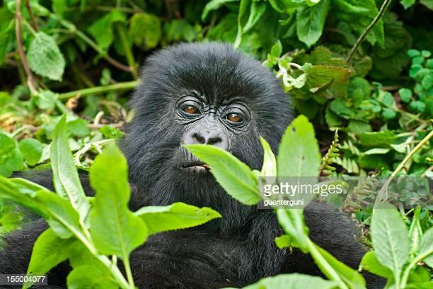 ジュベナイルマウンテンゴリラ、野生生物の写真、ルワンダ