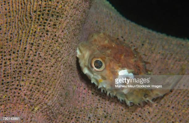 Juvenile porcupinefish swimming along a brown sponge.