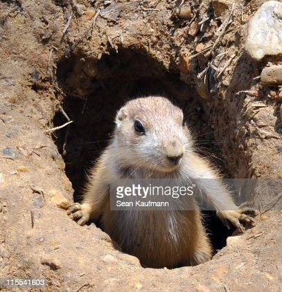 Prairie Dog Price Uk