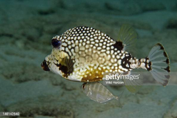 Juvenile silver fish shadowing a smooth trunkfish Curacao Netherlands Antilles