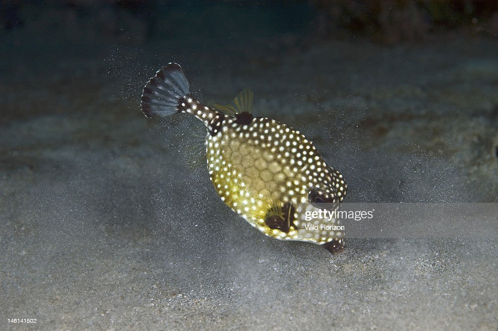 Juvenile smooth trunkfish foraging over sandflat It is blowing water to move sand while searching for hidden food Lactophrys triqueter Curacao...