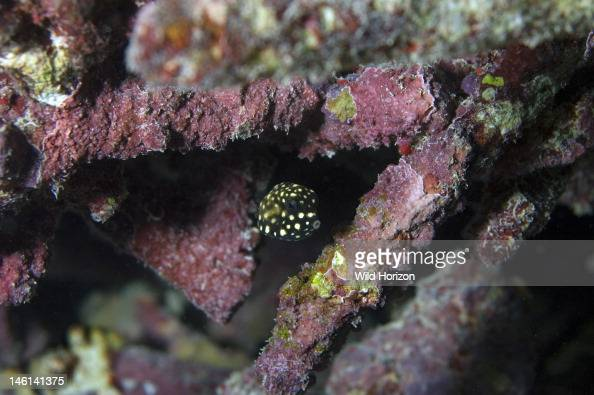 Juvenile smooth trunkfish Lactophrys triqueter Less than one inch across Curacao Netherlands Antilles Digital Photo