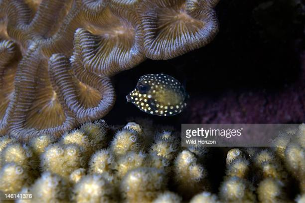 Juvenile smooth trunkfish Lactophrys triqueter One inch across Curacao Netherlands Antilles Digital Photo