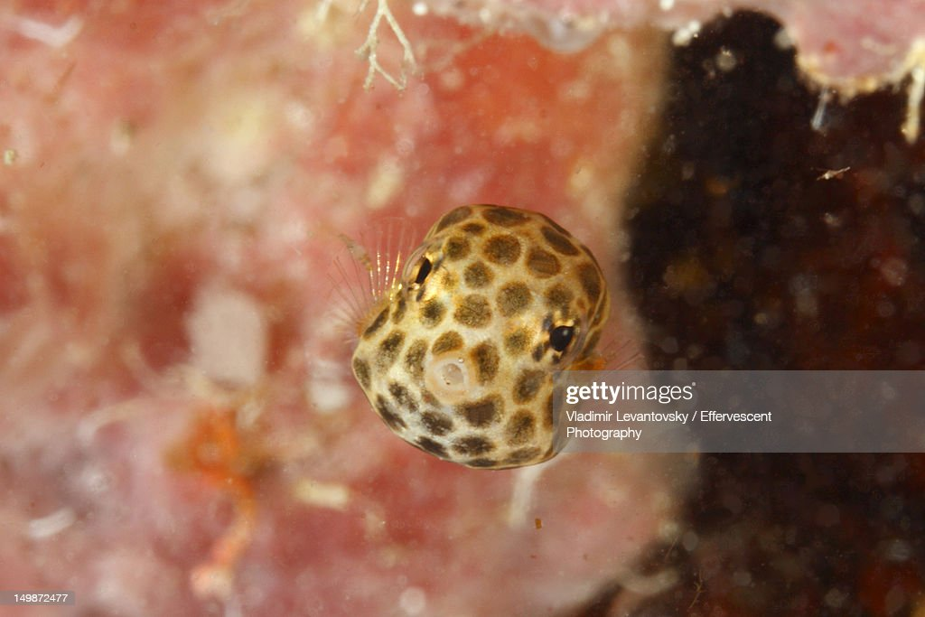Juvenile smooth trunkfish