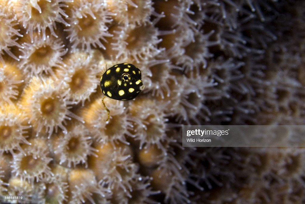 Juvenile trunkfish in front of star coral showing off tiny size Lactophrys triqueter Curacao Netherlands Antilles
